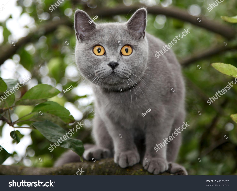 British Blue Cat Stock Shutterstock