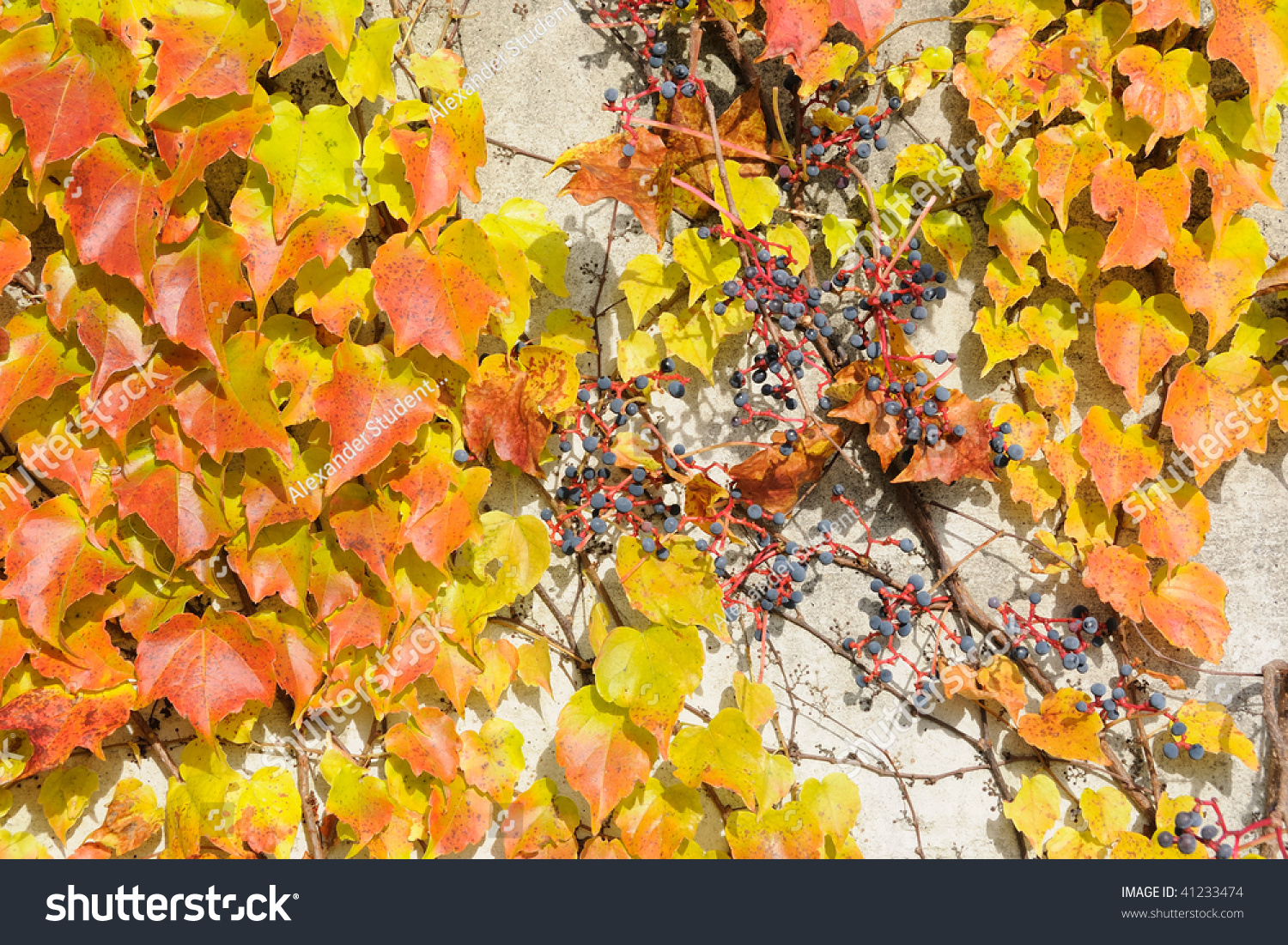 Grape-vine with colorful greenery growing on the wall of a building ...