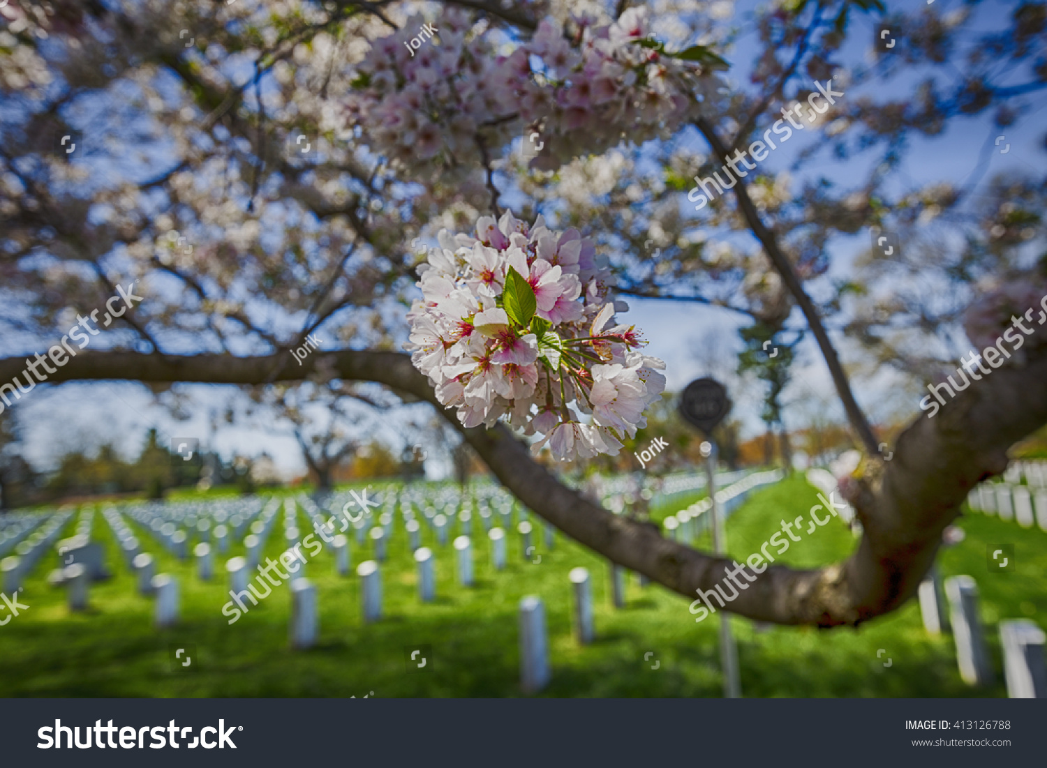 Cherry Blossoms Trees Arlington Cemetery Pink Stock Photo Edit Now