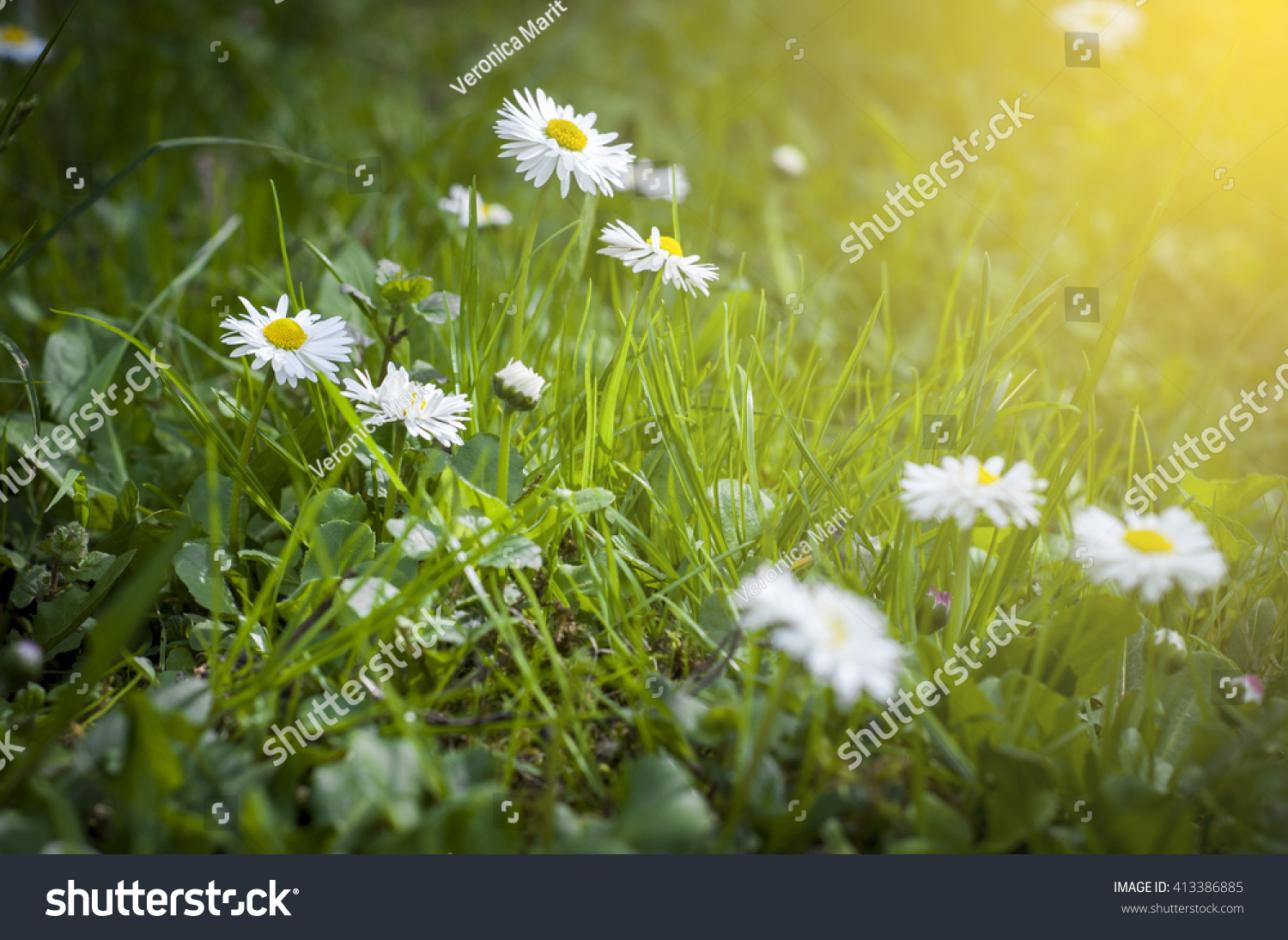 White little flowers in the grass ez canvas id 413386885 izmirmasajfo
