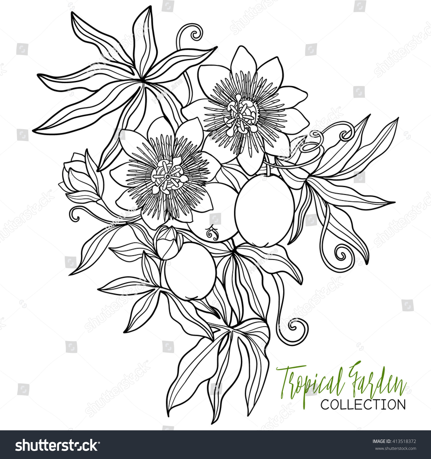 passiflora tropical plant vector illustration coloring stock