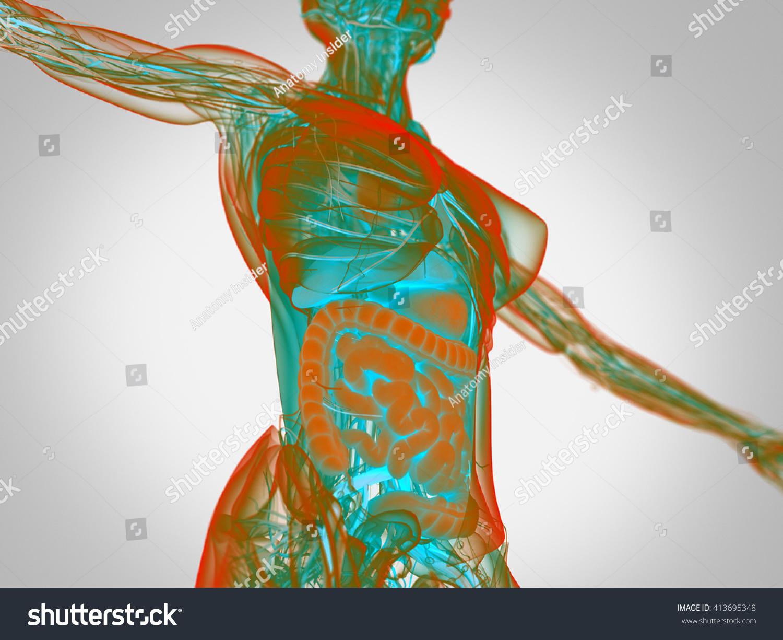Royalty Free Stock Illustration Of Female Human Anatomy Torso