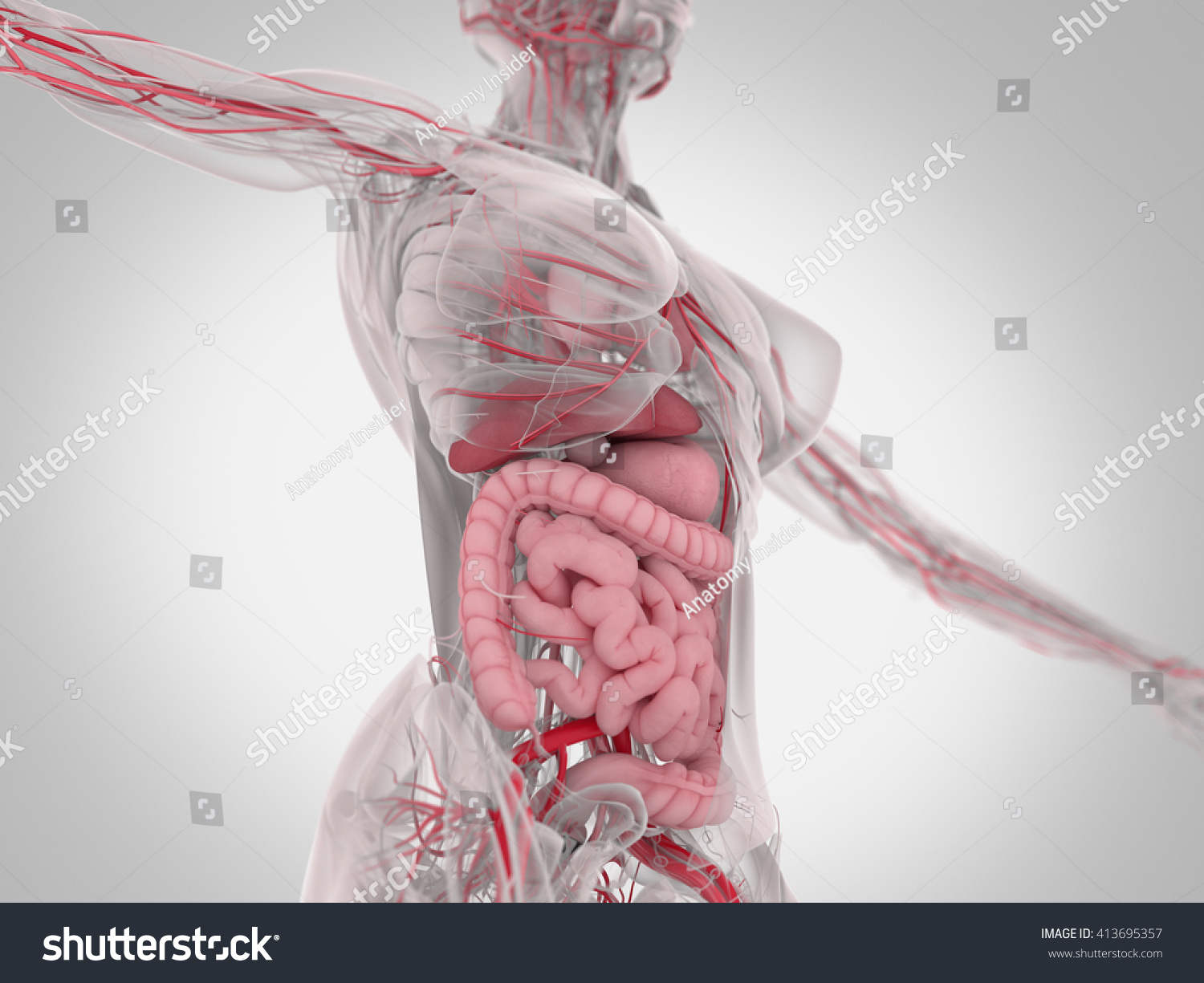 Female Human Anatomy Torso Showing Intestines Stockillustration