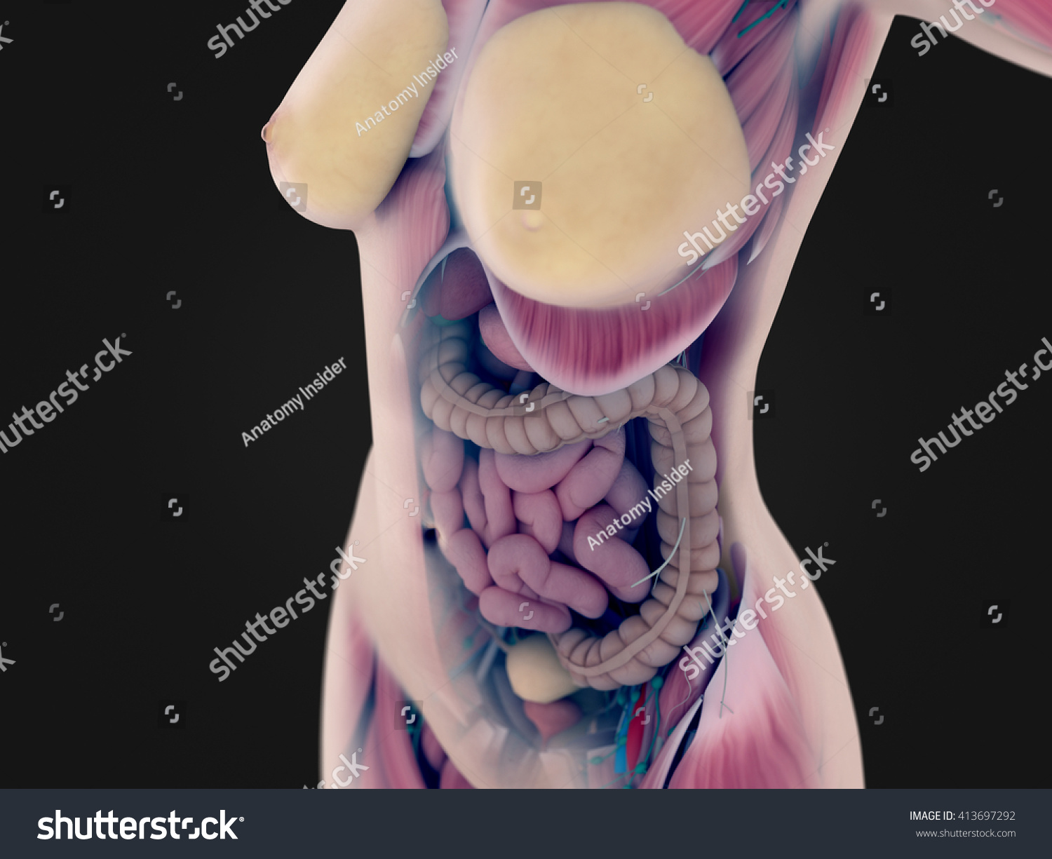 Female Anatomy Torso Showing Intestines Xraylike Stock Illustration ...