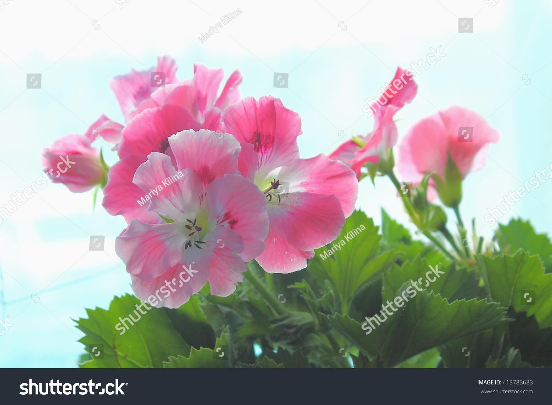 royal pink background - photo #36