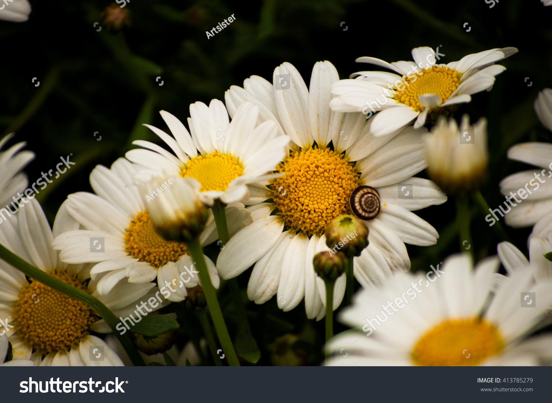 Macro Beautiful White Daisies Flowers Symbol Stock Photo Edit Now