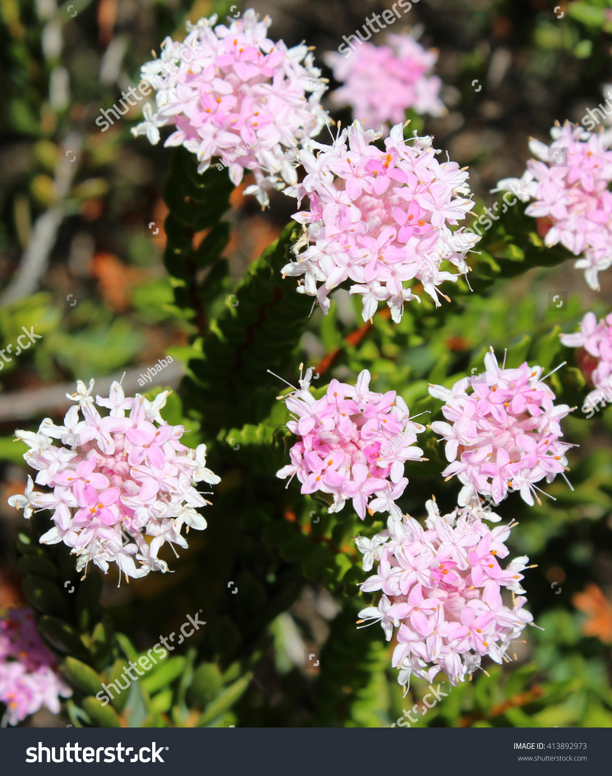 Lovely pimelea ferruginea rice flower thymelaeaceae stock photo lovely pimelea ferruginea rice flower of the thymelaeaceae family with pink flowers blooming in crooked brook mightylinksfo