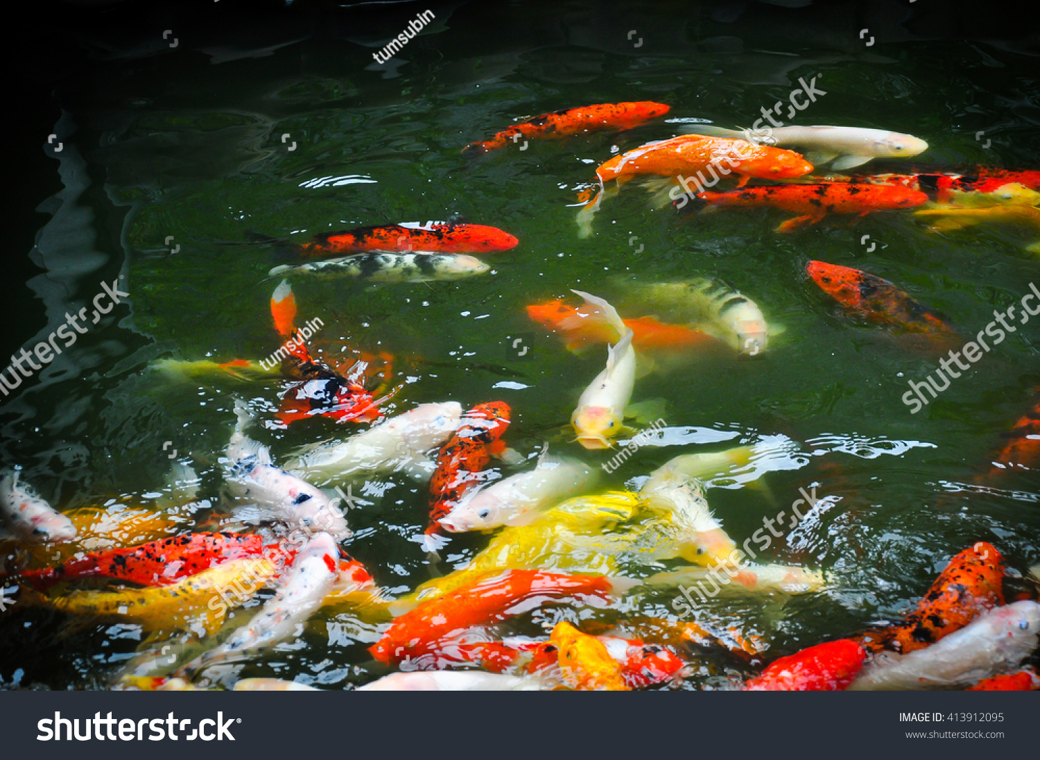 Freshwater fish koi - Save To A Lightbox