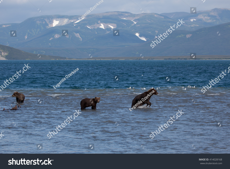 stock-photo-group-wild-bears-fishing-in-