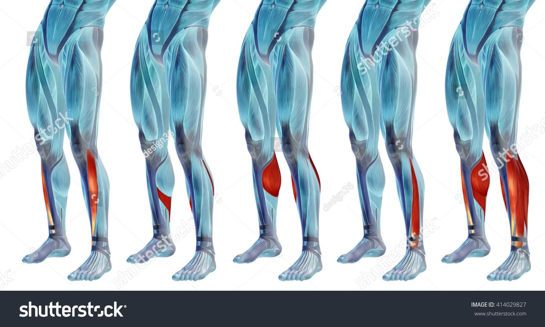 Concept 3 D Human Lower Leg Anatomy Stock Illustration 414029827