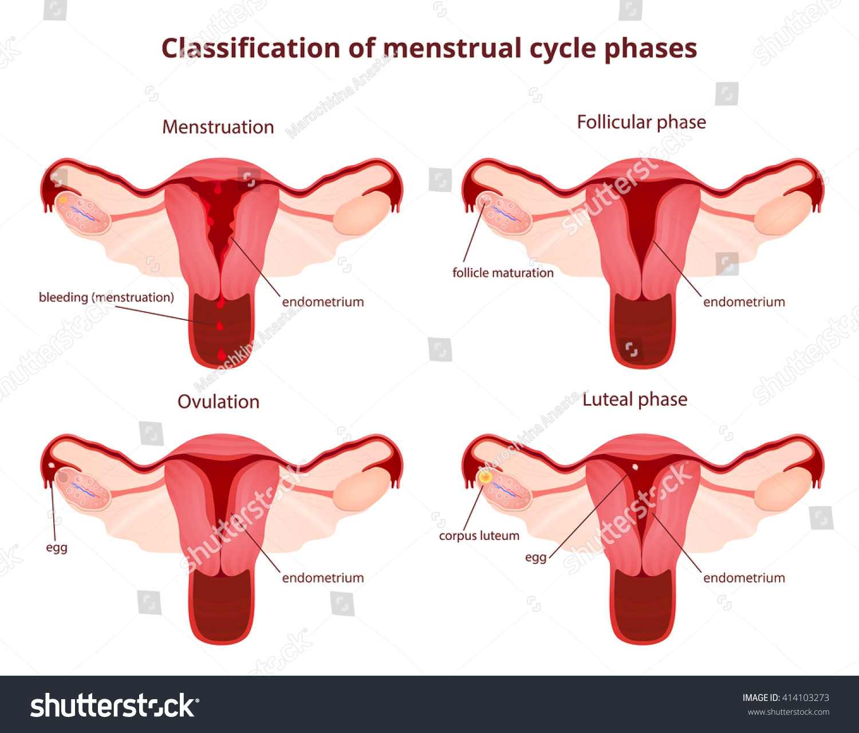 Female Reproductive System Uterus Ovaries Scheme Stock Vector