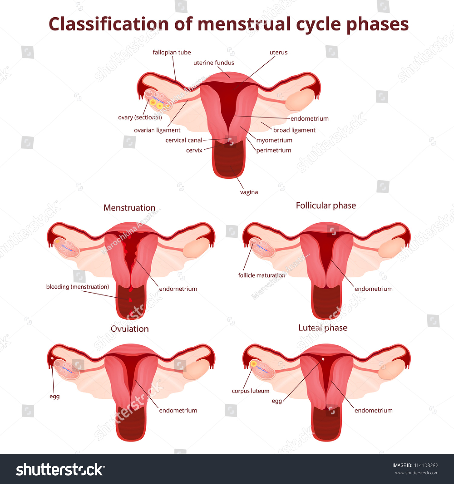 Female Reproductive System Uterus Ovaries Scheme Stock Vector