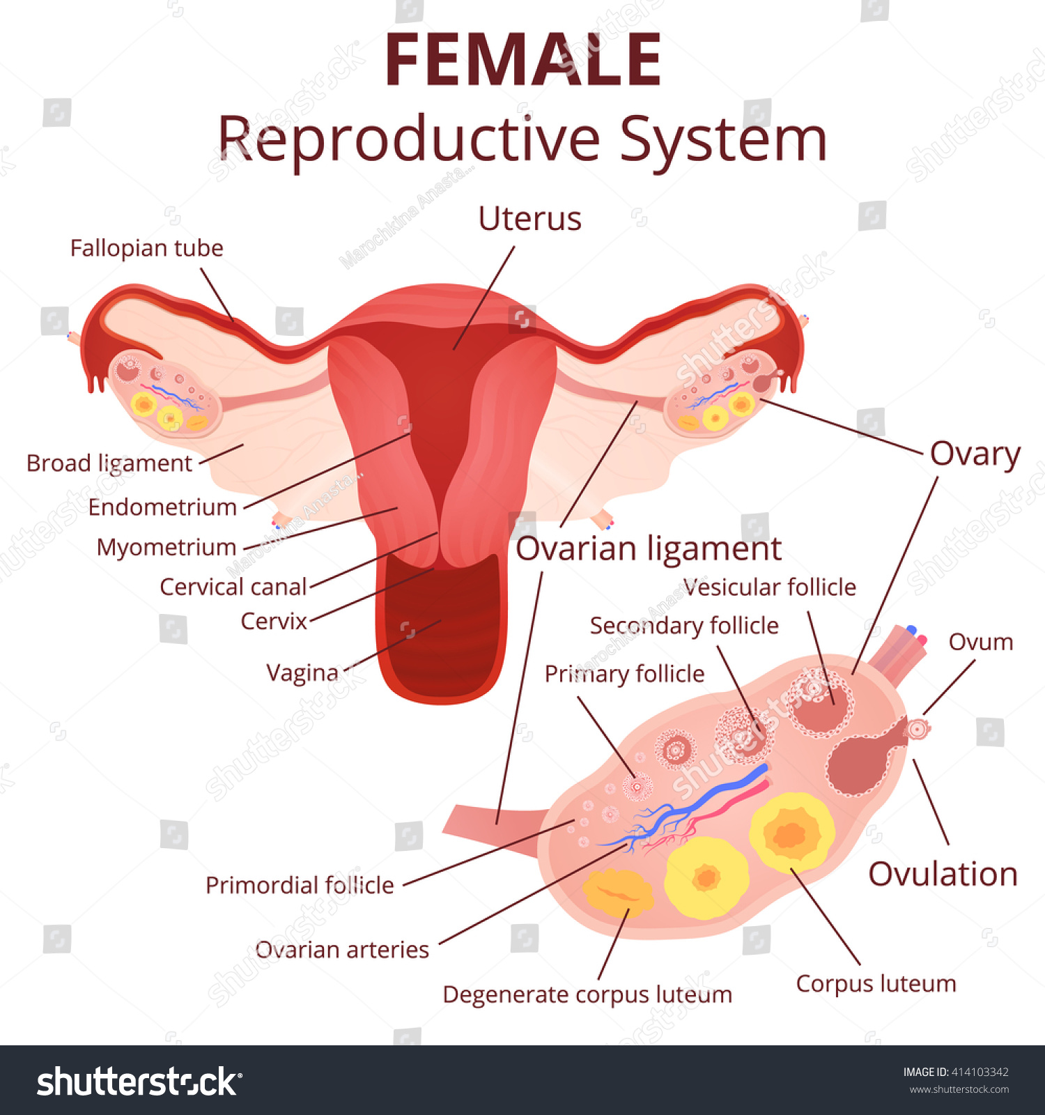 royalty-free female reproductive system, the uterus… #414103342