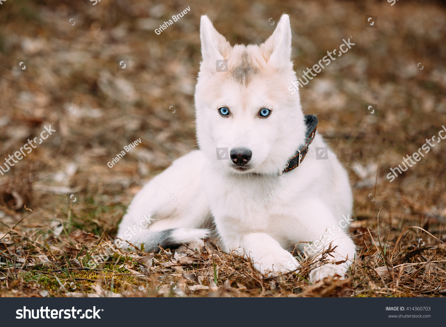 Young Funny White Husky Puppy Dog Stock Photo (Edit Now