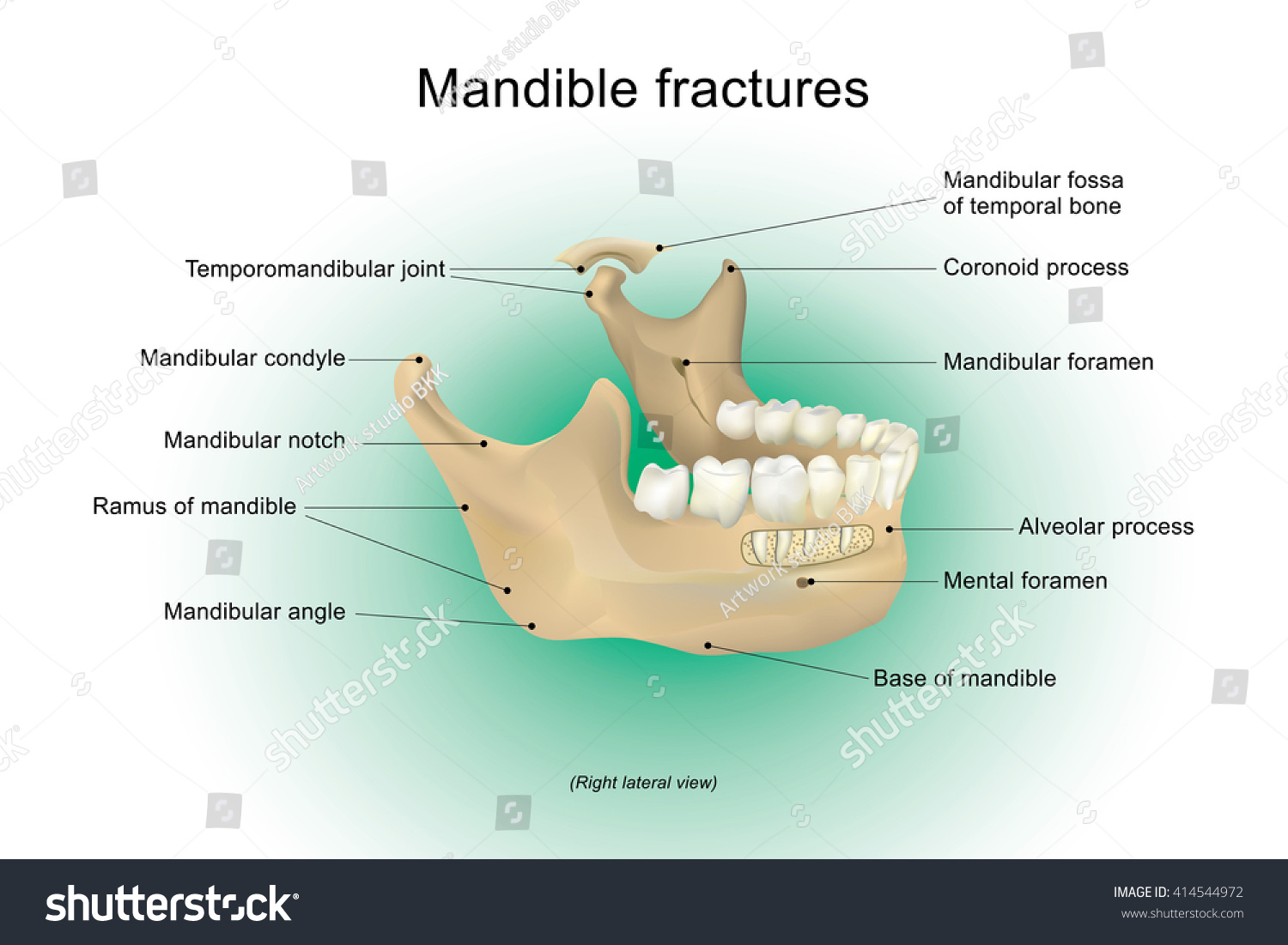 Mandibular Image collections - human anatomy organs diagram