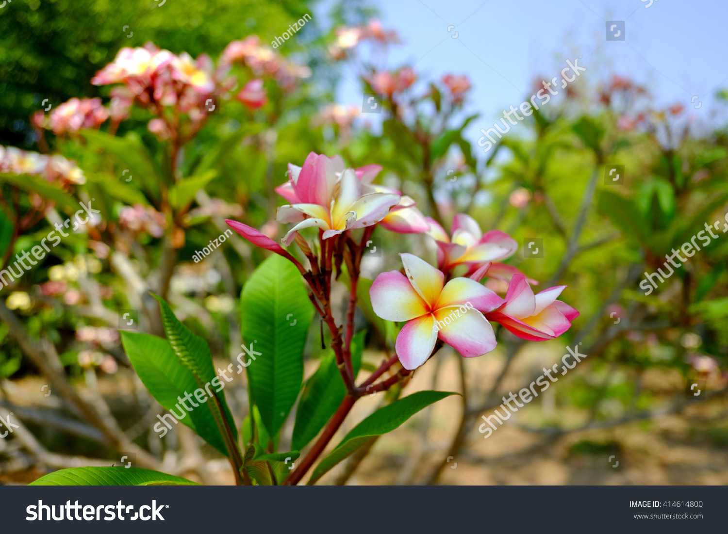 Royalty Free Branch Of Tropical Pink Flowers 414614800 Stock Photo