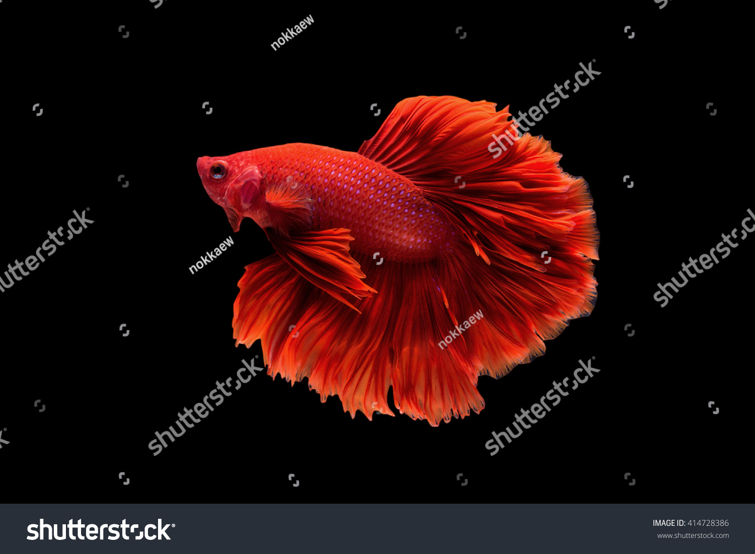 Red Halfmoon Betta Capture Moving Moment Stock Photo 414728386 ...