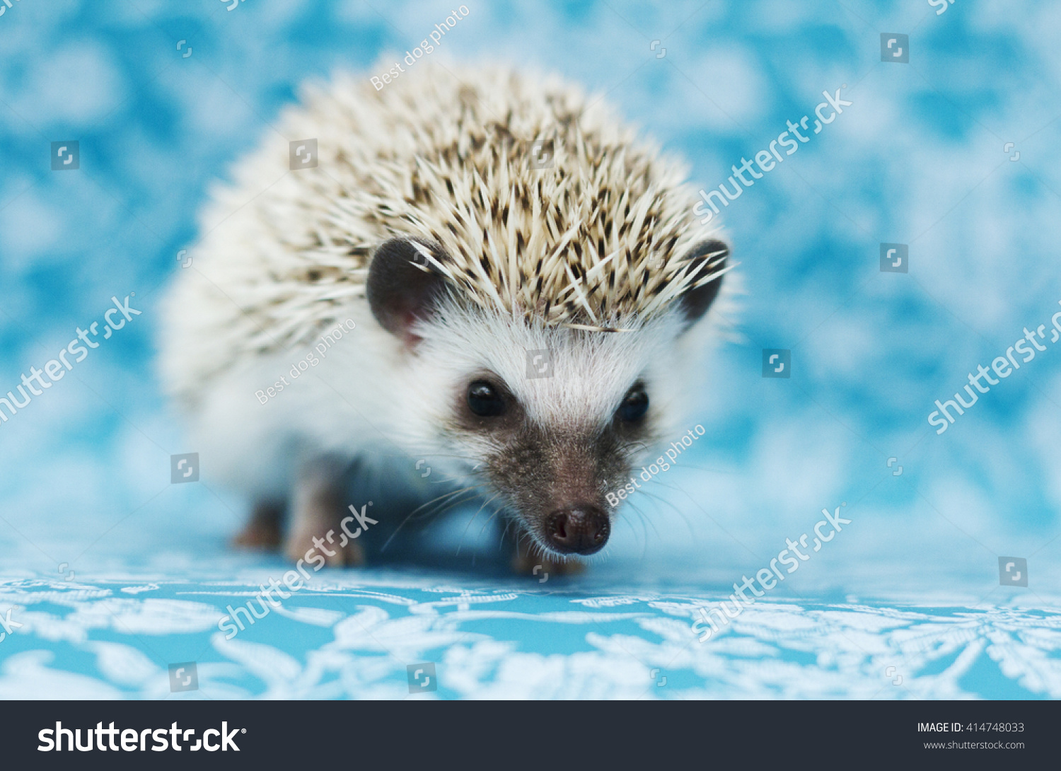 Beautiful Cute Young Small Hedgehog Baby Stock Photo 414748033 ...