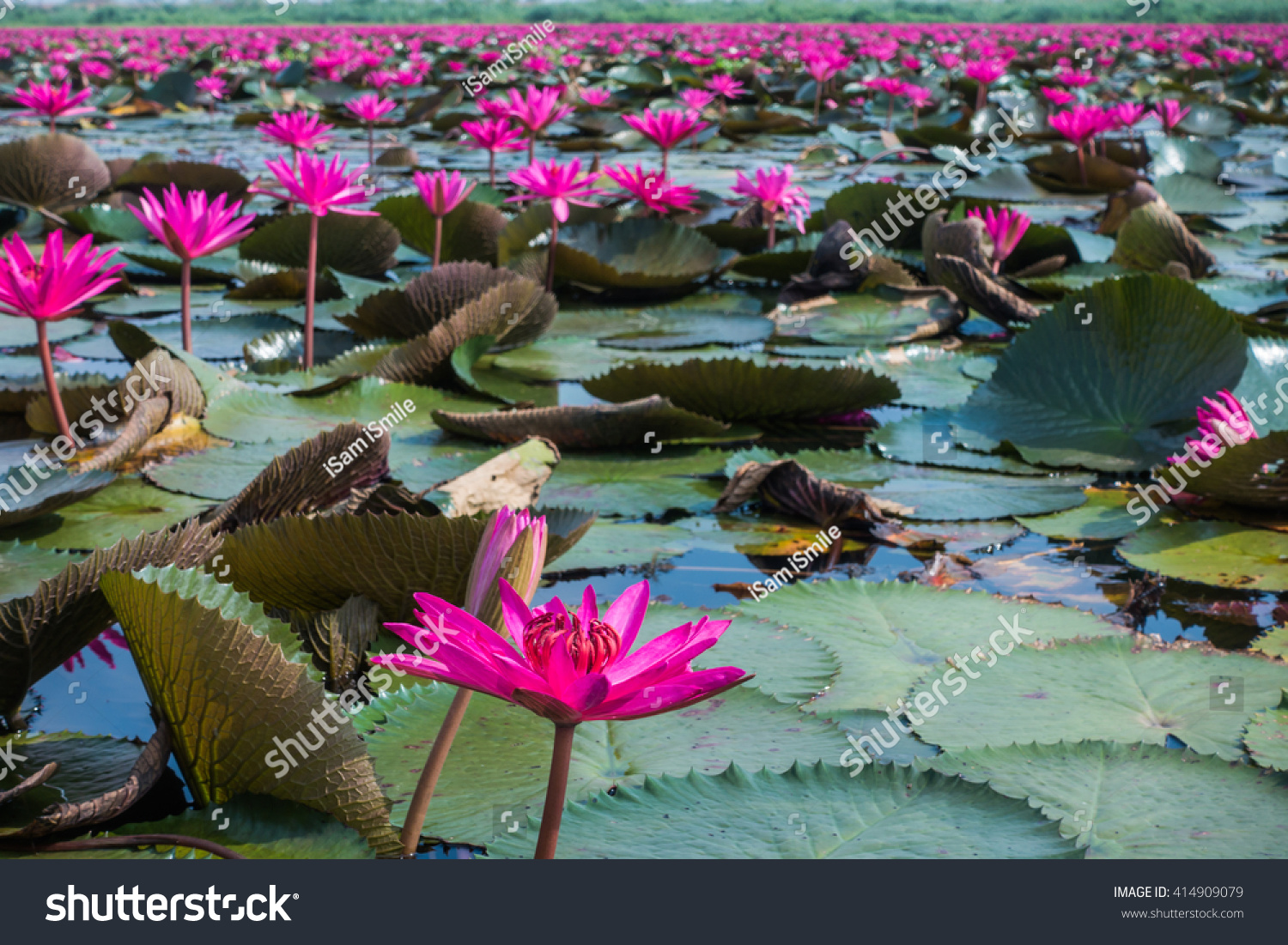 Beautiful Waterlily Lotus Flower Complimented By Stock Photo