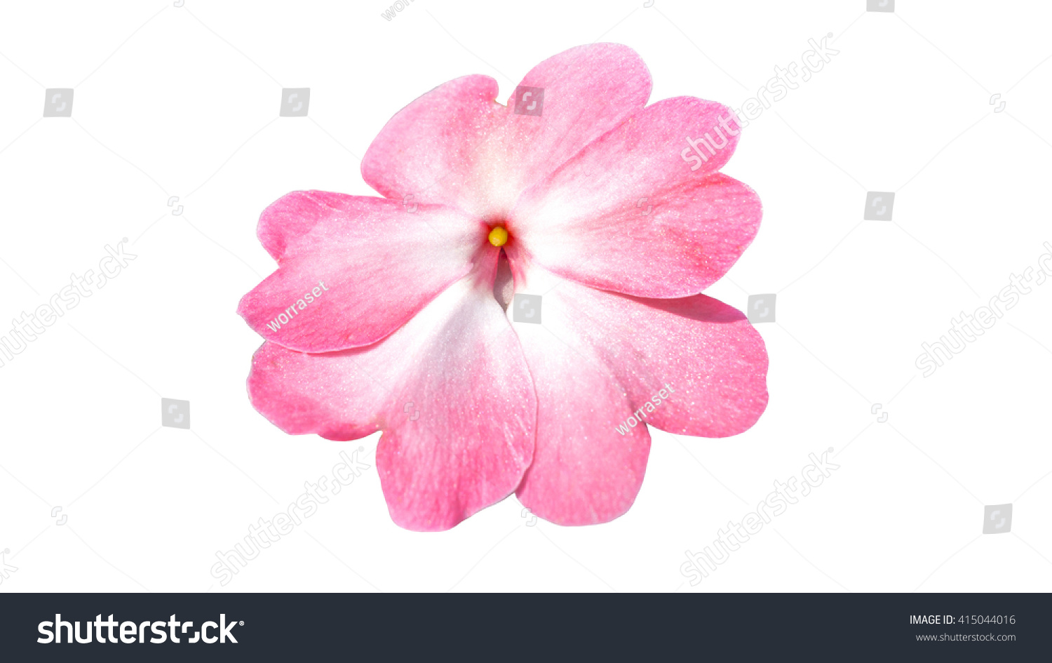 Pink Rose Isolated On White Background The Science Name Is