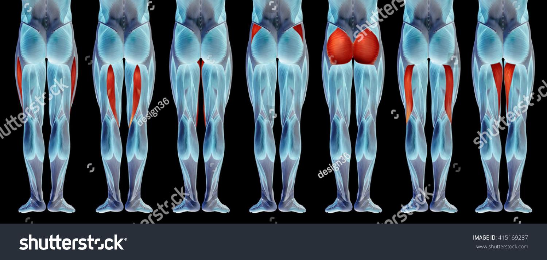 Concept 3 D Human Upper Leg Anatomy Stock Illustration 415169287 ...