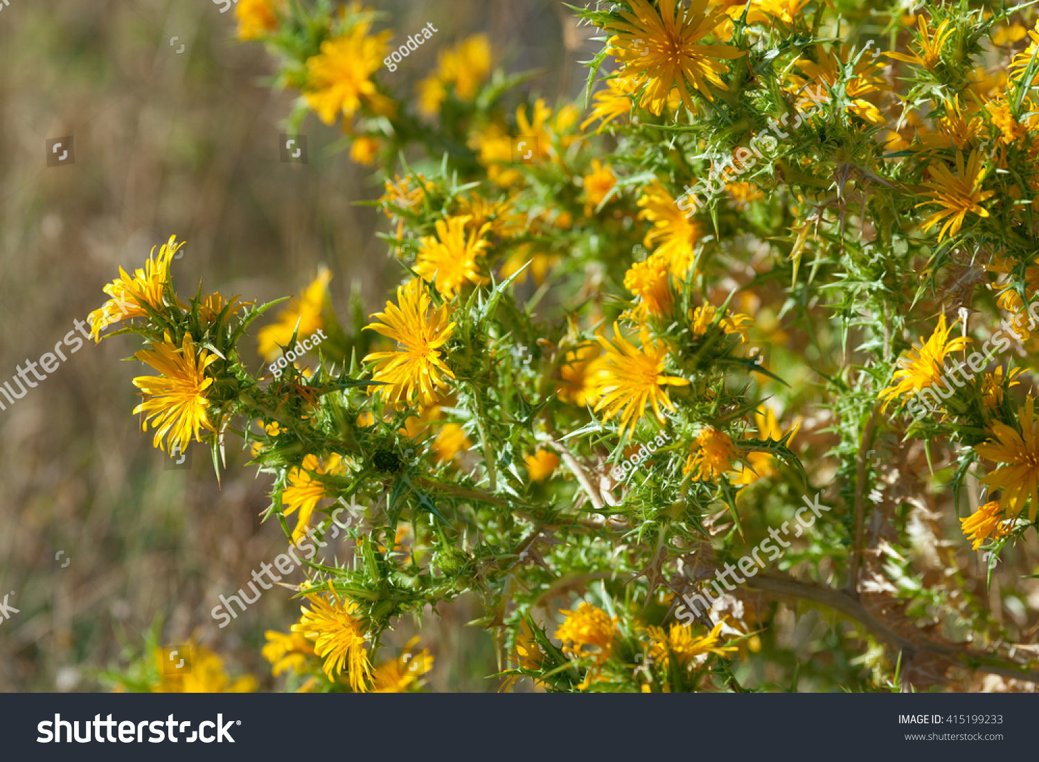 Image colourfull spiky bush yellow thistle stock photo edit now image of a colourfull spiky bush of yellow thistle flowers of the centaurea family in the mightylinksfo