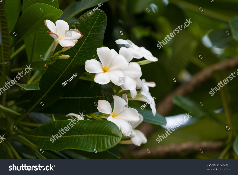 Frangipani Tropical Plant Delicate White Yellow Stock Photo Royalty