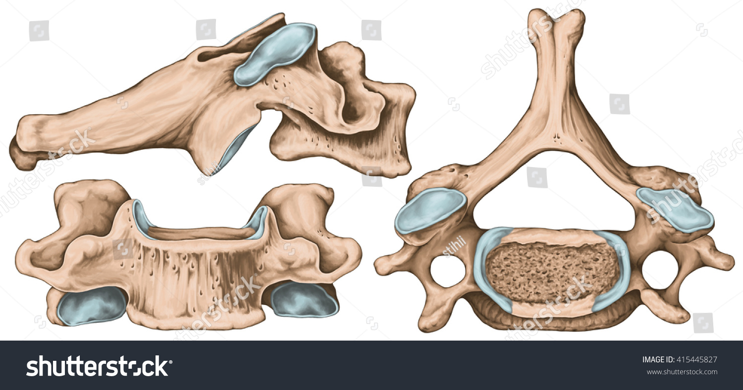 Didactic Board Cervical Spine Common Vertebral Stock Illustration