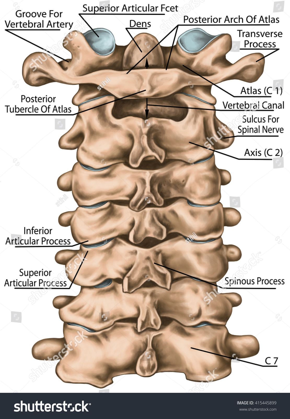 Cervical Spine Structure Vertebral Bones Cervical Stock Illustration