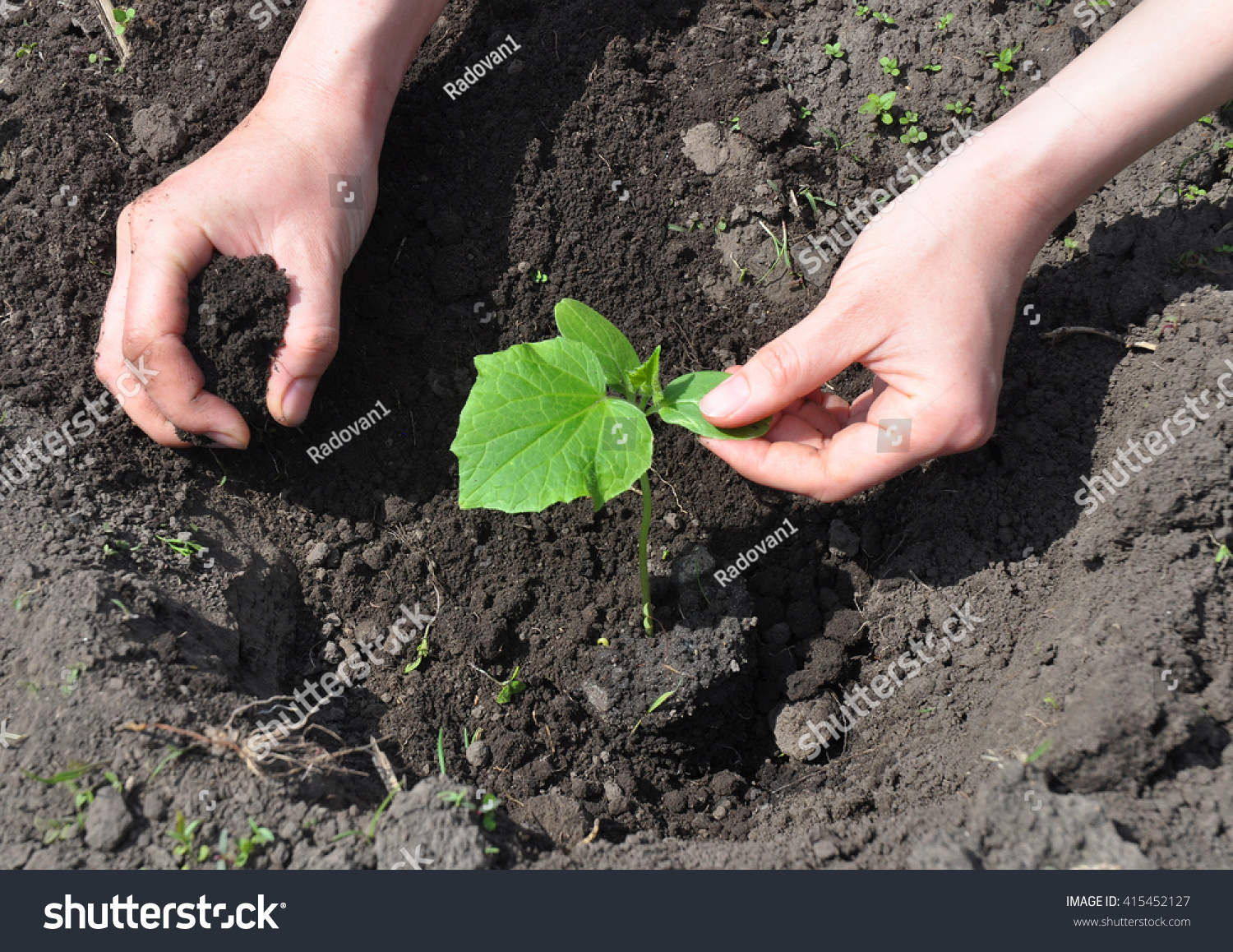 Farmer Planting Cucumber Seedling Tutorial Step Stock Photo