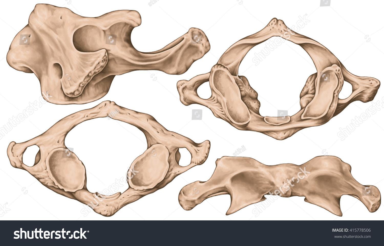 Didactic Board Cervical Spine Vertebral Morphology First Cervical