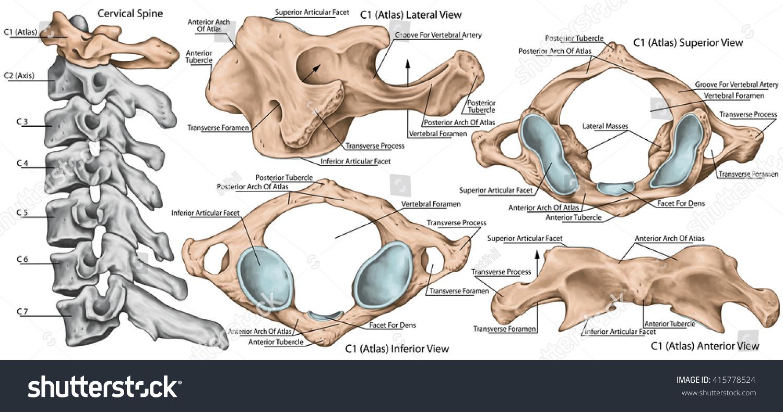 Didactic Board Cervical Spine Vertebral Morphology Stock