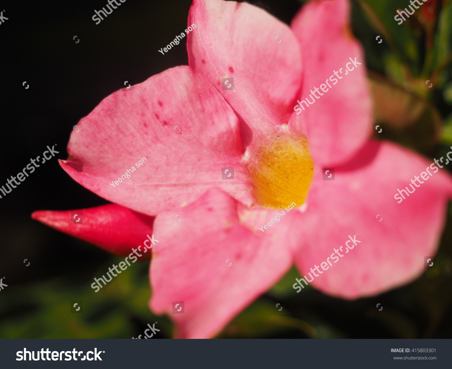 Royalty free pink star shaped flowers are beautiful 415803301 pink star shaped flowers are beautiful stock photo mightylinksfo