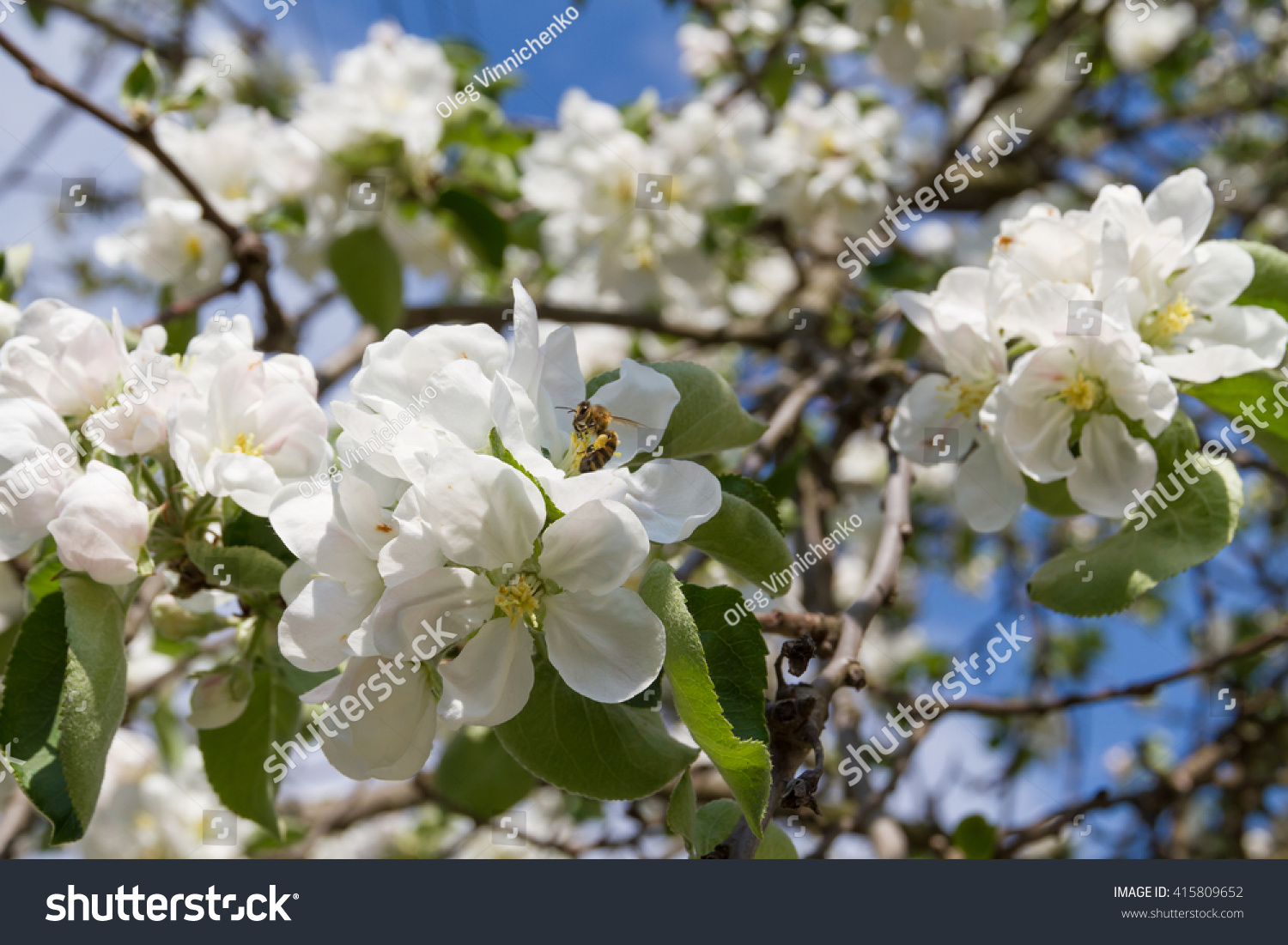 Beautiful Lush White Flowers Apple Trees Stock Photo Edit Now