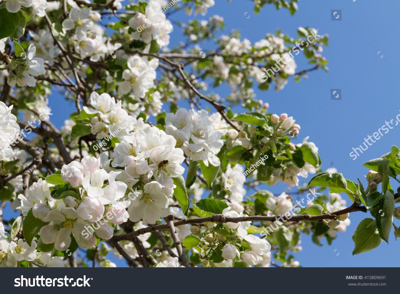 Beautiful Lush White Flowers Apple Trees Stock Photo Edit Now