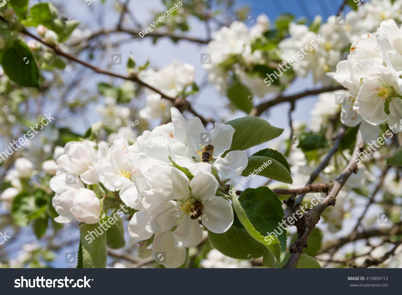 Flowering Dogwood Or Cornus Florida Hanamizuki In Japanese Ez Canvas