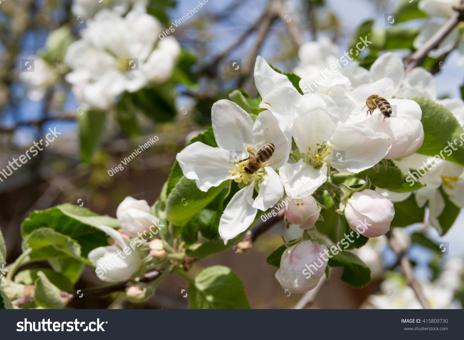 Beautiful Lush White Flowers Of Apple Trees On A Sunny Day In May