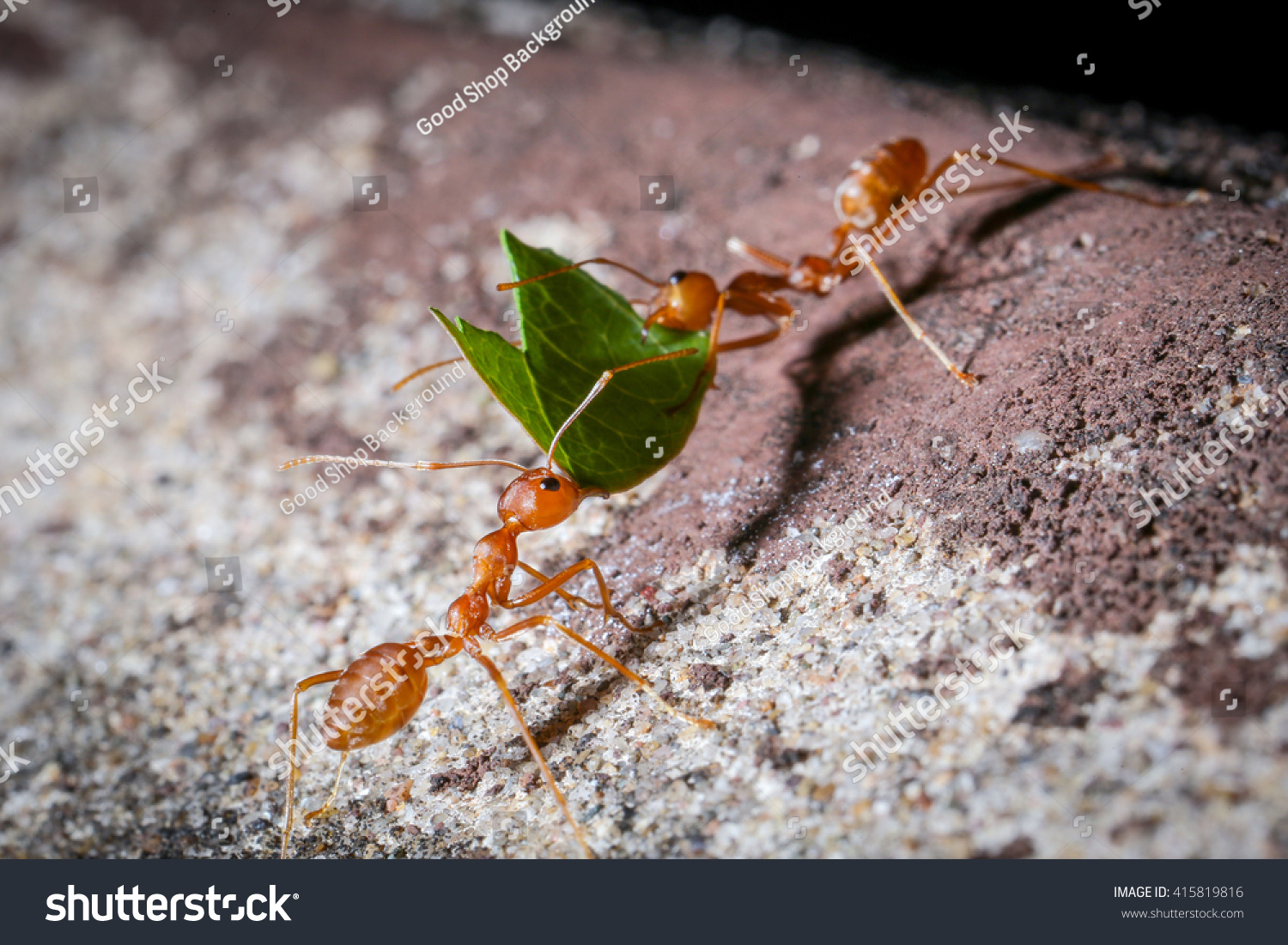 Ant. Stock Photo 415819816 : Shutterstock