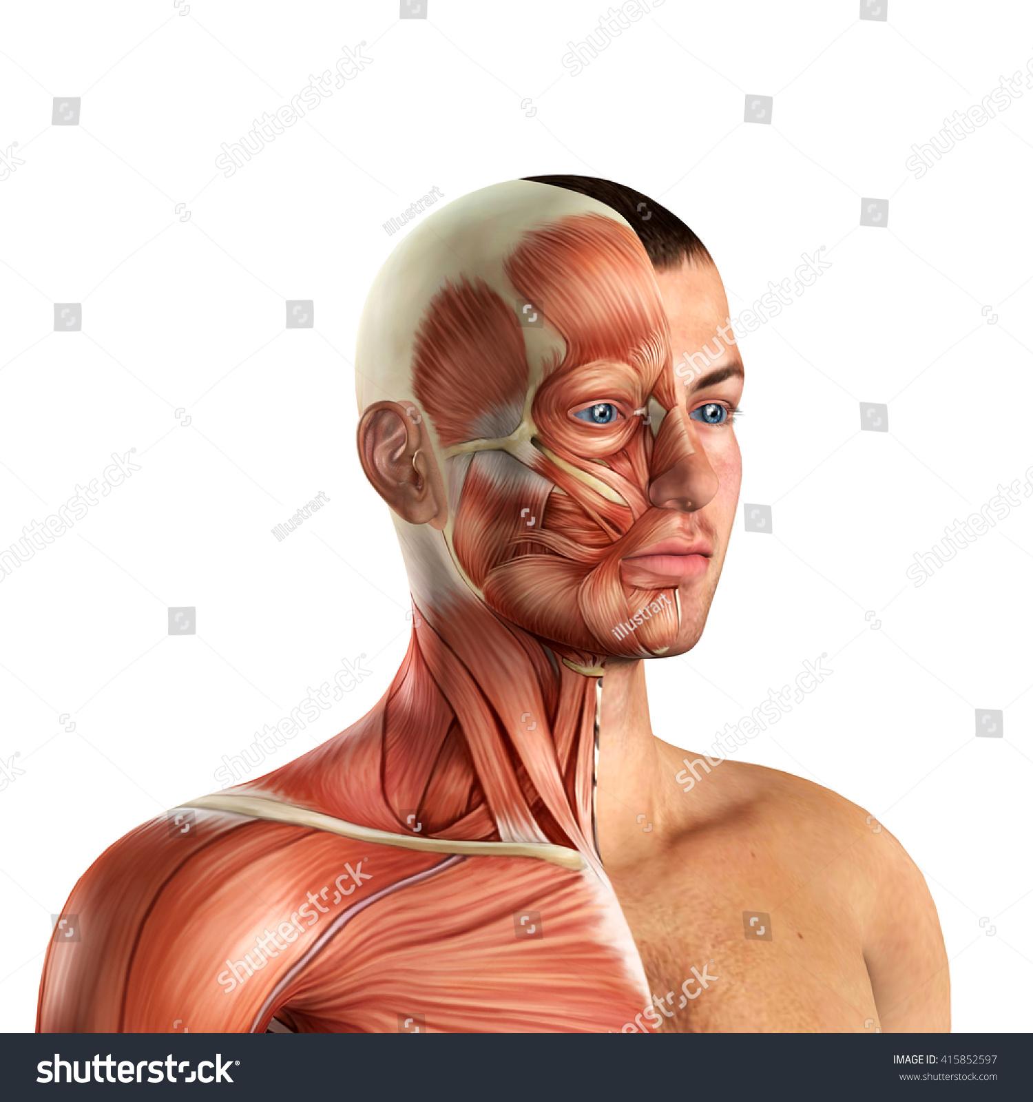 Male Face Muscles Anatomy 3 D Illustration Stock Illustration ...