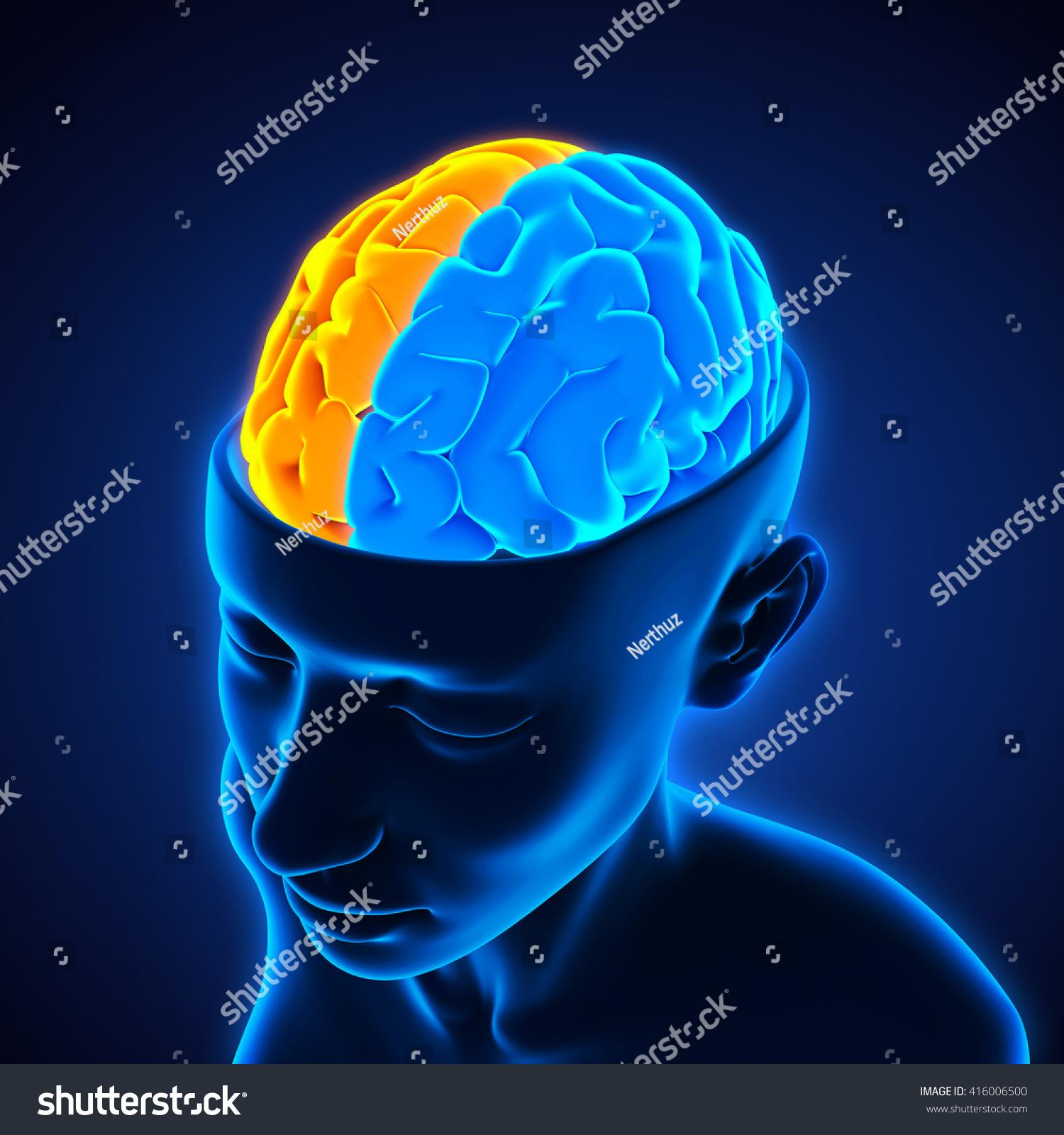Left Right Human Brain Anatomy Illustration Stock Illustration ...