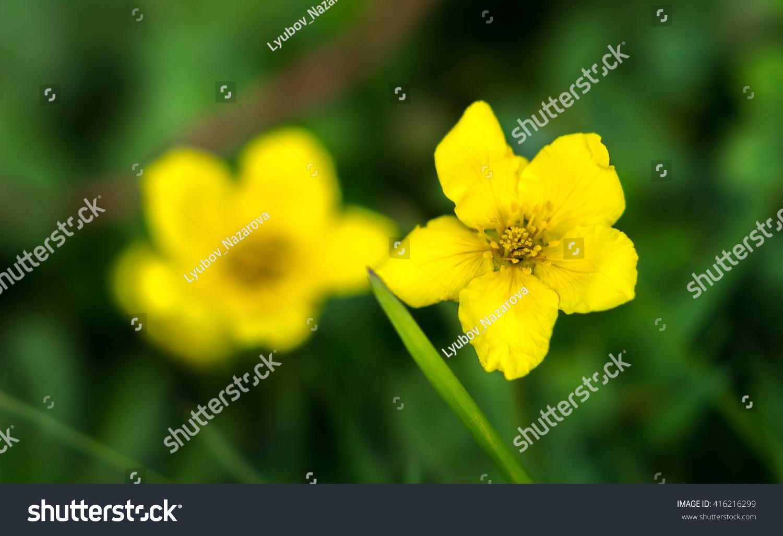 Yellow flower in the center wild yellow flower blooming soft yellow flower in the center wild yellow flower blooming soft looking blurry green background ez canvas mightylinksfo
