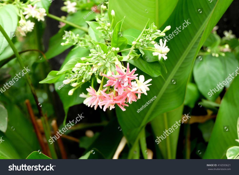 Bunch White Pink Jasmine Flowers Stock Photo Royalty Free