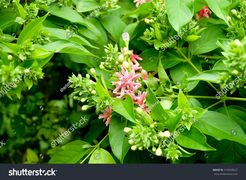 Bunch White Pink Jasmine Flowers Stock Photo Edit Now 416593627