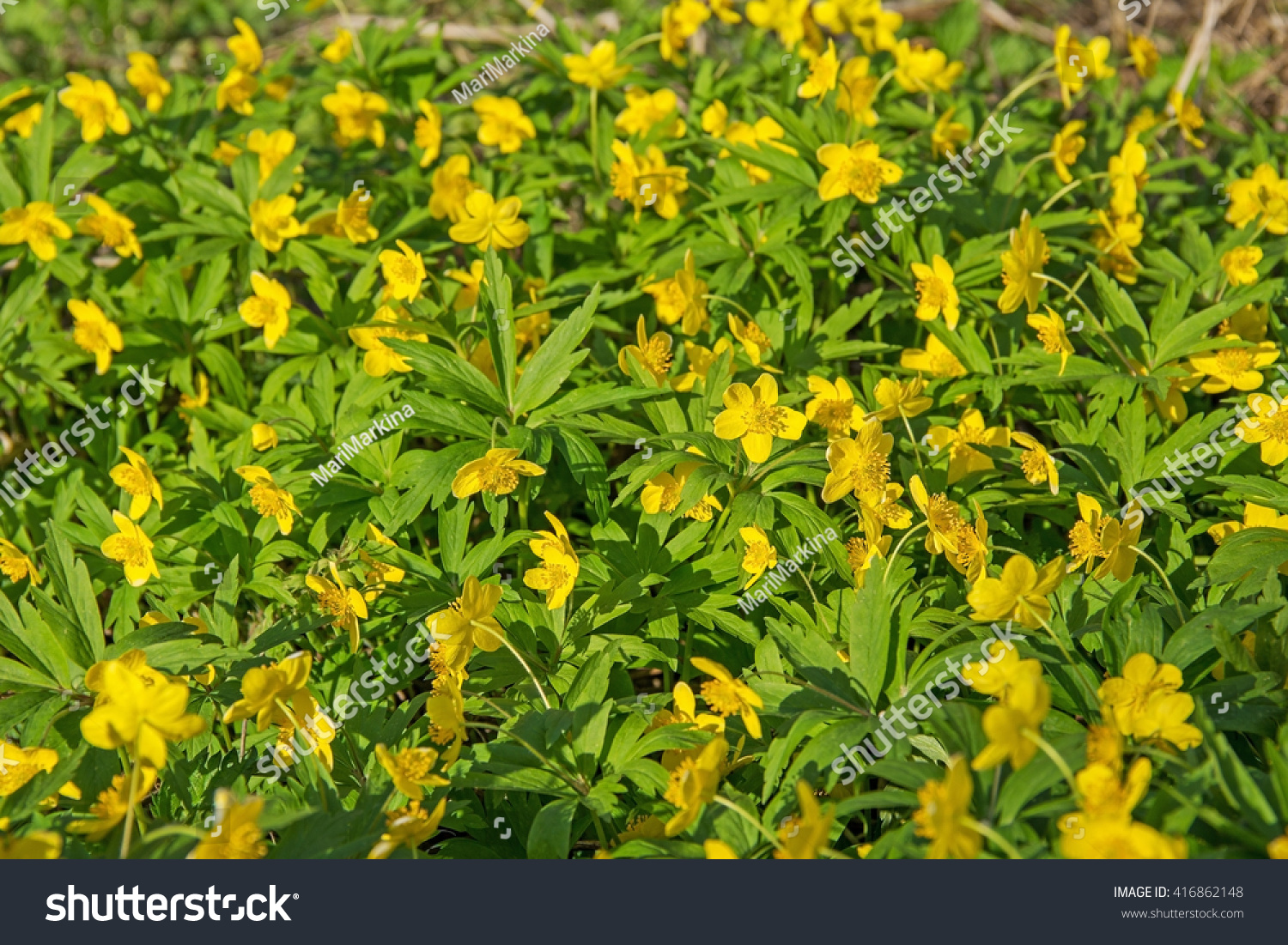 Beautiful Poisonous Yellow Flowers Ranunculus Repens Stock Photo