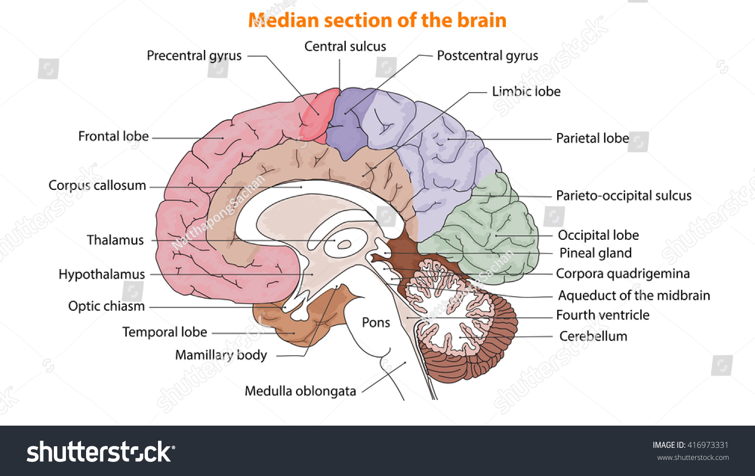 Human Brain Brain Median Section Brain Stock Vector HD (Royalty Free ...