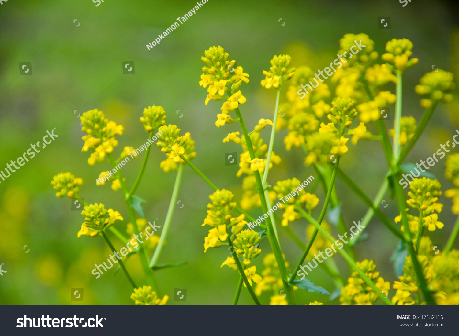 Royalty Free Yellow Rocket Weed In Blurry Background 417182116
