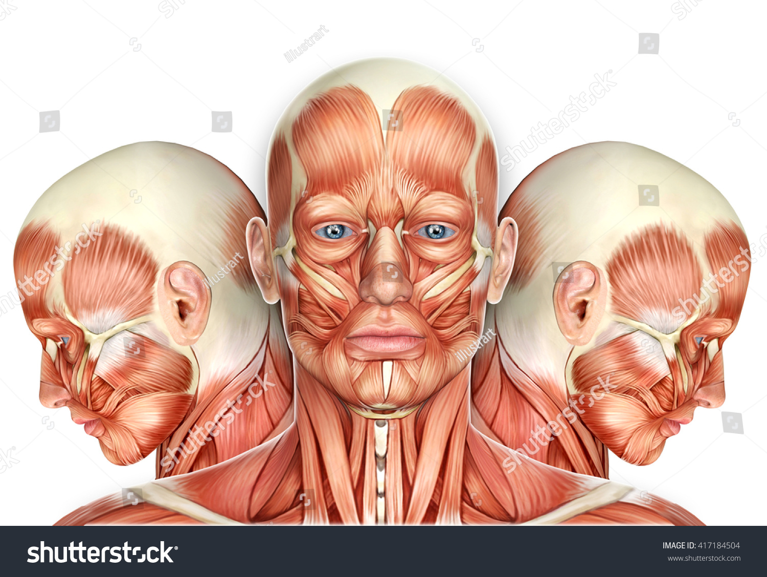 3 D Male Face Muscles Anatomy Side Stock Illustration 417184504