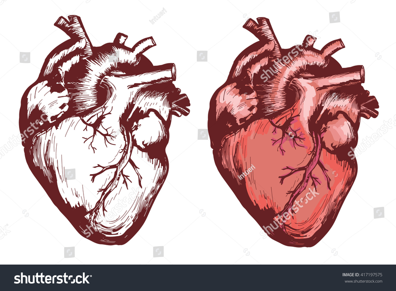 Human Heart Anatomical Heart Hand Drawn Stock Vector Royalty Free