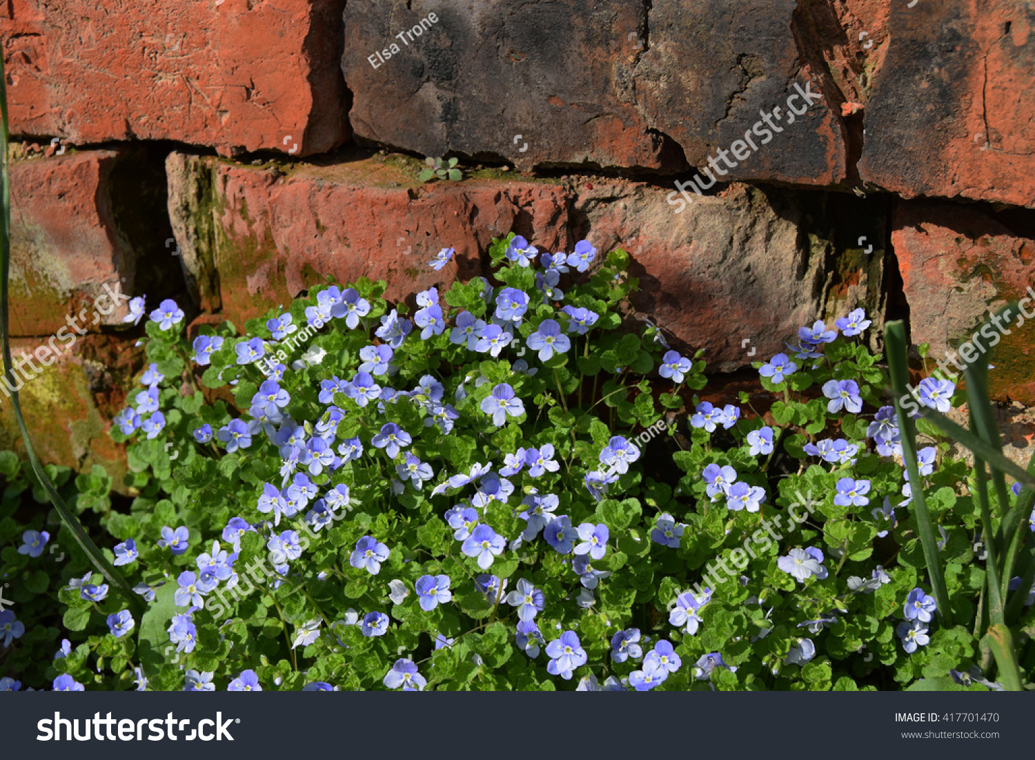 Royalty free small blue flowers of ground cover 417701470 stock small blue flowers of ground cover 417701470 izmirmasajfo