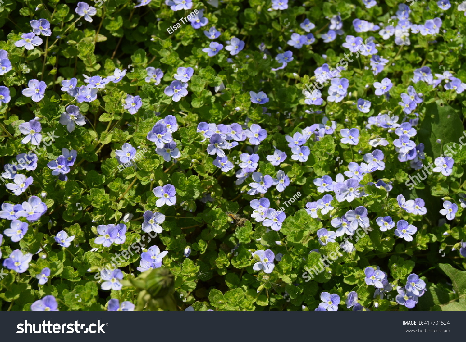 Small blue flowers ground cover stock photo edit now 417701524 small blue flowers of ground cover izmirmasajfo